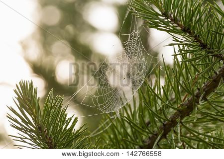 web with water drops stretched on pine needles