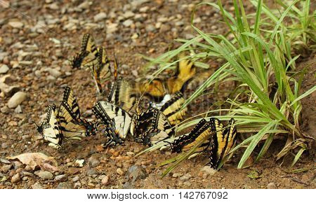 Photograph of swallowtail butterflies in a group.