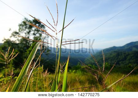 Close up of grass flower in national park Thailand.