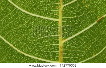 Close-up photograph of the underside of a leaf.
