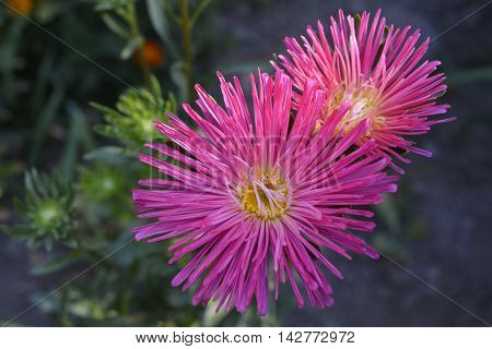 the flowers are pink needle Aster in the garden