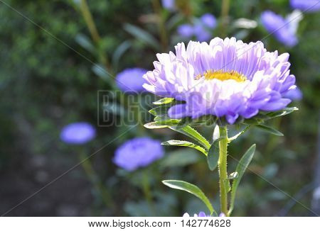 the usual flower purple asters in the garden in the bright sunlight