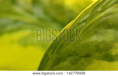 Close-up photograph of paintlike yellow and green leaf.
