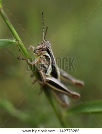 Close up photograph of a subadult grasshopper.