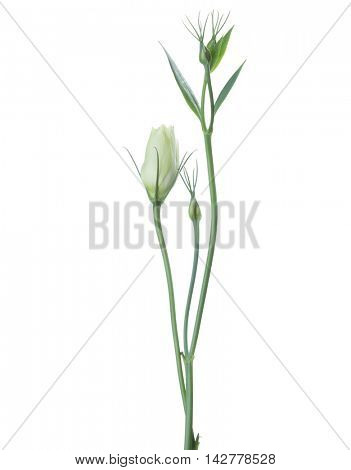 Branches  of eustoma with buds isolated on white.