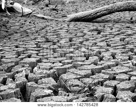 Mud crack and dead tree in black and white color