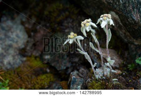 Mountain Flowers Edelweiss
