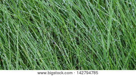 Dewdrops on long grass in the early morning