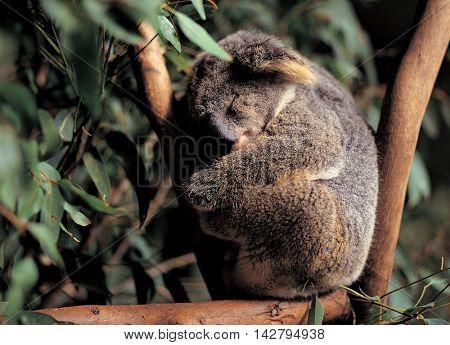 Koala Nap on the branches
