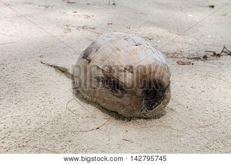Dessicated Coconut Ripe On Rough Sandy Beach.