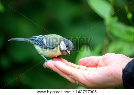 Tit eating from the hand in the wild
