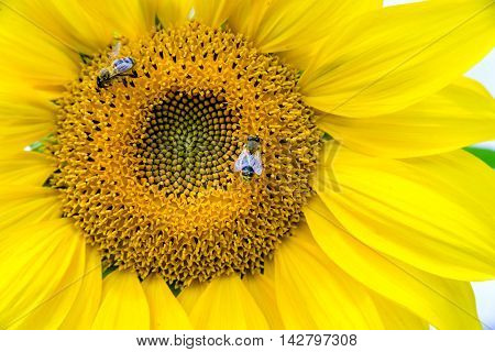 two bees collect nectar from a flower of a sunflower