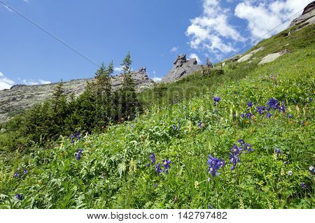 Aquilegia Blue Flowers In The Mountains Of The Western Sayan