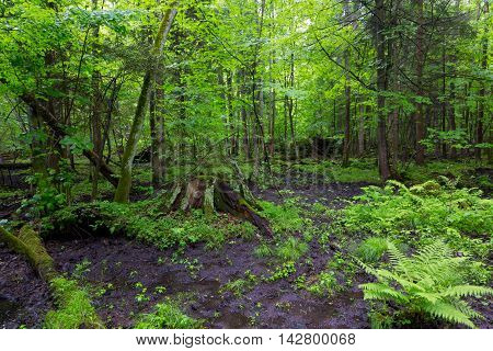Moss wraped stump and fern in deciduous stand, Bialowieza Forest, Poland, Europe
