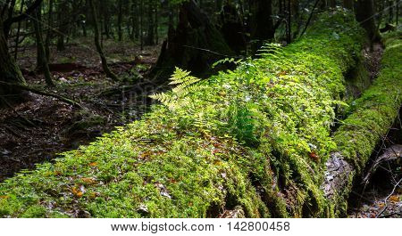 Broken linden tree moss wrapped against sun wit some ferns grows over, Bialowieza Forest, Poland, Europe