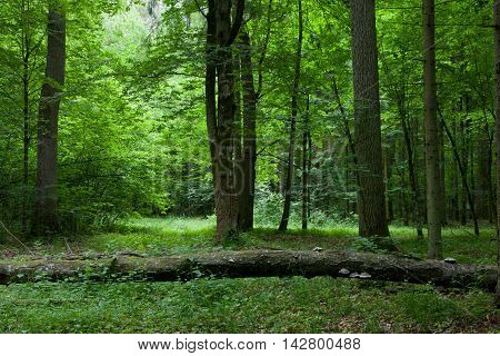 Old oak tree broken lying in deciduous stand stand, Bialowieza Forest, Poland, Europe