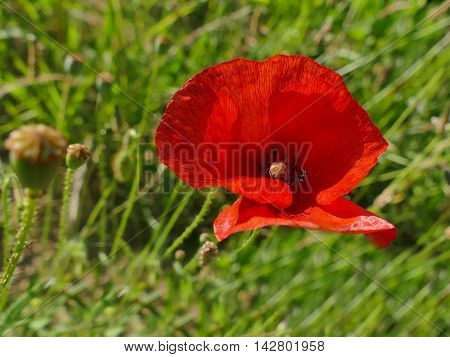 Single Red Poppy Flower Close Up In Green Grass