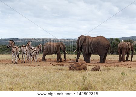 Eating And Drinking Time - African Bush Elephant