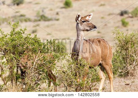 Hurry Up We Have To Go  - Female Kudu