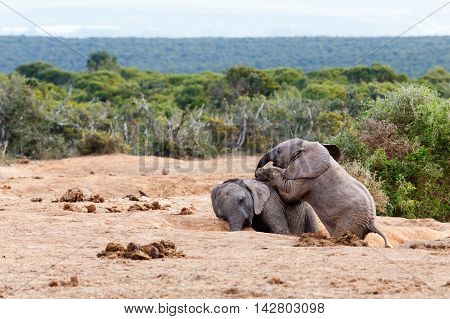 Playing Dead -african Bush Elephant