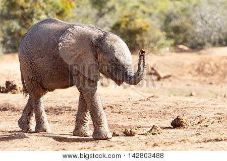 Happy Thoughts - African Bush Elephant