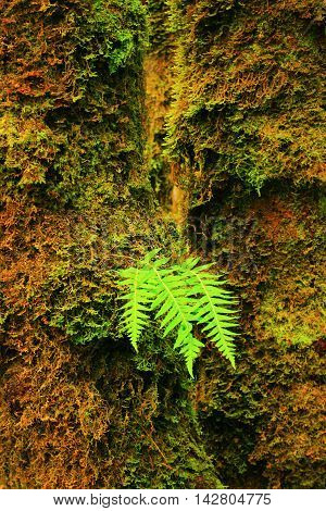 a picture of an exterior Pacific Northwest  Vine maple tree trunk and young sword fern