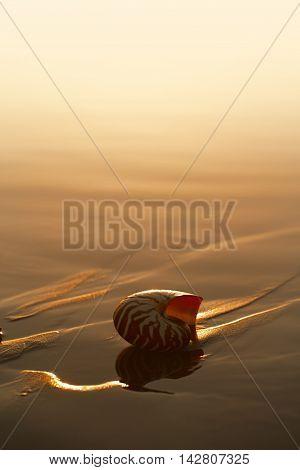 seashell nautilus on sea beach under sunset sun light, Agadir, Marocco
