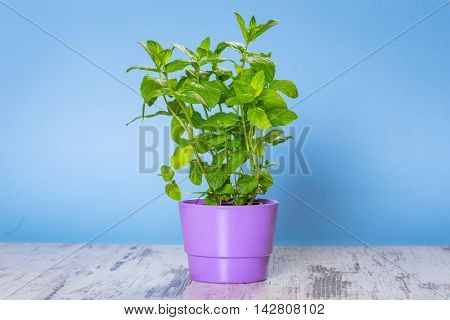 Herb mint growing in a pot over blue kitchen background.