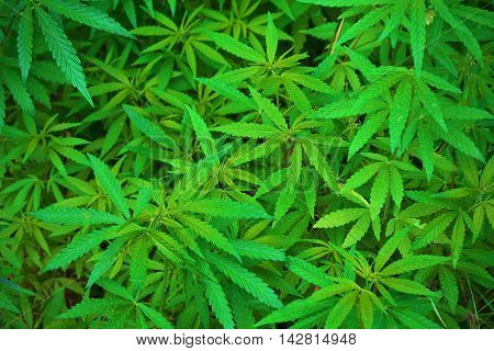 background green thickets of cannabis close up