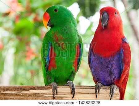 a pair of Solomon Island Eclectus Parrots Eclectus roratus solomonensis
