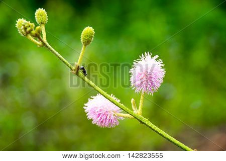 Close up flower pink flower Giant sensitive or Maiyaraap ton