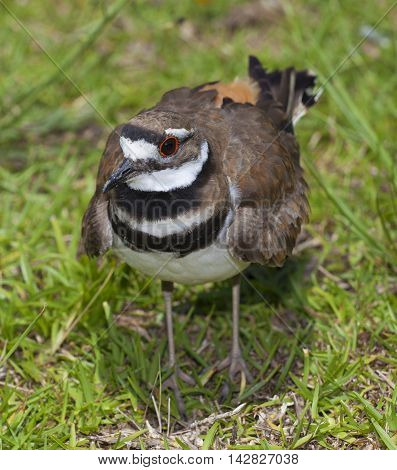 Killdeer bird that is on the grass in the daytime