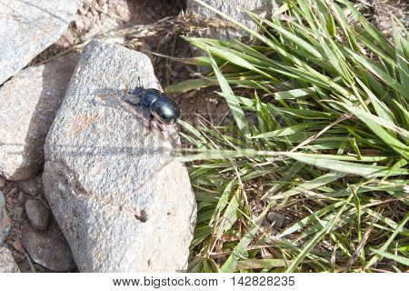 Cockroach Over A Stone Near Green Grass In A Sunny Day