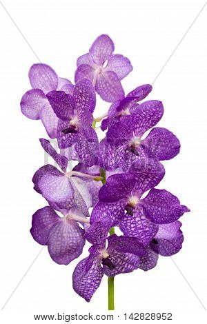 close-up Vanda Orchid Wanda - Queen of orchids purple flower isolated on a white background