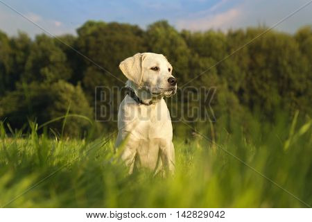 young labrador dog puppy sitting in the sunlight on a meadow