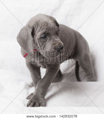 Blue purebred Great Dane puppy looking around on a white background