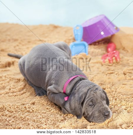 Purebred Great Dane puppy on the sand ready to go to sleep
