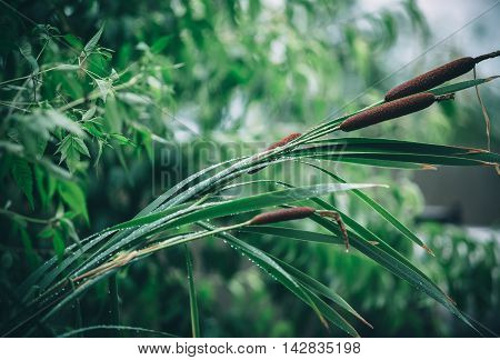 Beautiful Natural Background With Reeds And Drops Of Dew