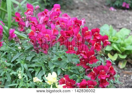 deep raspberry color in summer full bloom flowers call snapdragon grow in pompous bush in garden