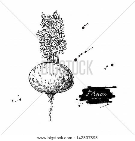 Maca plant vector superfood drawing. Isolated hand drawn illustration on white background. Organic healthy food. Great for banner poster label sign