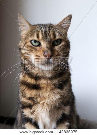 Bengal Cat: Bengal Cat Looking In Camera Taken At Home