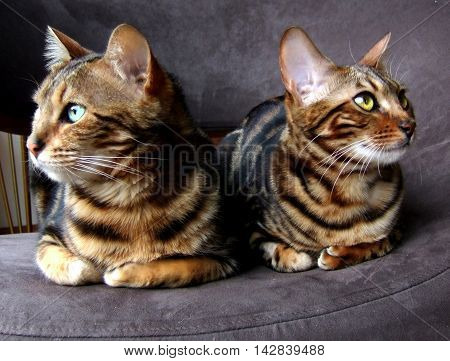 Two bengals cats sitting next to each other looking opposite sides