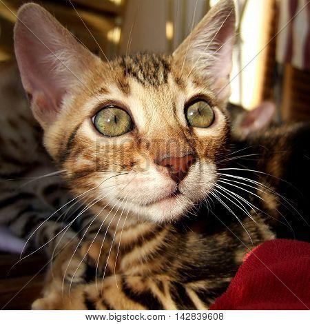 Bengal Cat: Kitten Head Taken At Home