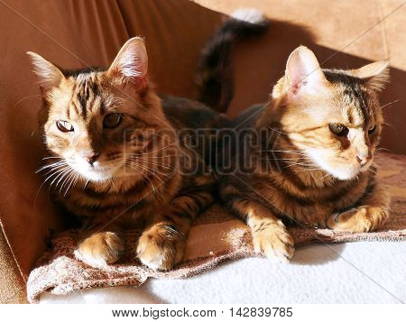 Bengal Cat: Marble Bengal Cashmere Cat And Marble Bengal Cat Taken At Home