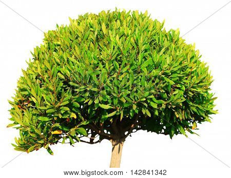 Crown of bay laurel tree on white background.