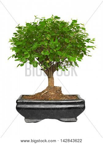 Bonsai tree in a ceramic pot, Isolated on white background.