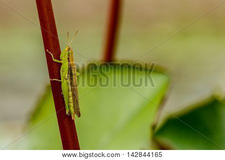 Grasshopper caught on rod in a lotus pond.