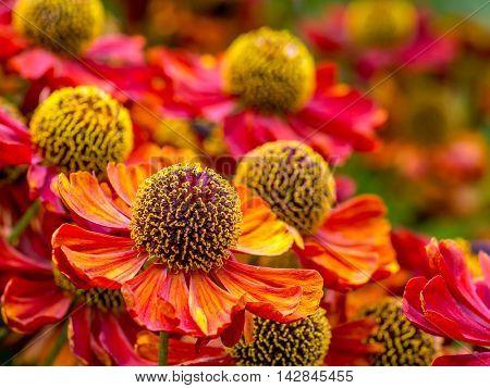 Bunch of Helenium autumnale flowers growing in the garden