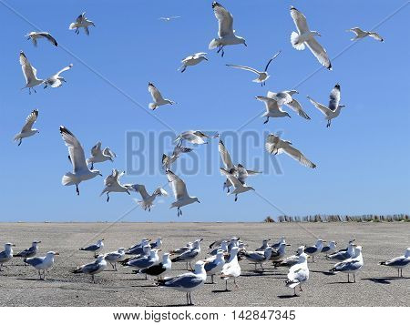 Flock Of Sea Gulls In Action And On The Ground