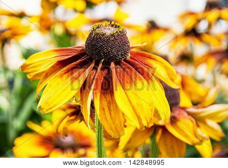 Detail photo of yellow echinacea flower. Beauty in nature. Seasonal natural scene. Vibrant colors.